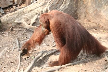 Borneo, orángután